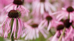 Échinacée pâle - Echinacea pallida