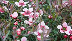 Arbre à thé - Leptospermum scoparium