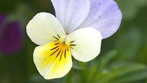 Pensée - Viola tricolor