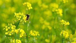 Moutarde - Brassica nigra