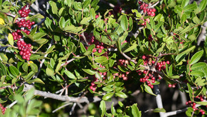 Arbre au mastic (ou pistachier lentisque) - Pistacia lentiscus