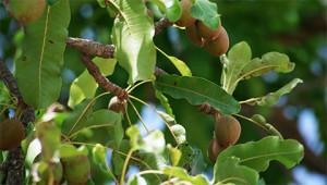 Karité - Butyrospermum parkii