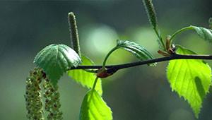 Berk - Betula pendula