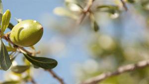 Arganboom - Argania spinosa
