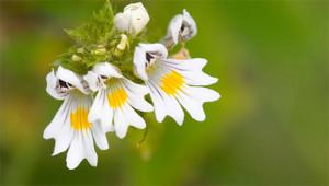 Ogentroost - Euphrasia officinalis