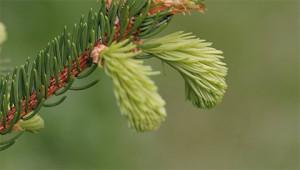 Épicéa - Picea abies