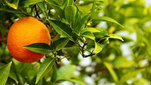 Orange amère - Citrus aurantium amara