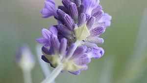 Lavande - Lavandula angustifolia