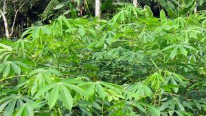 Manioc - Manihot esculenta