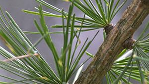 Mélèze d'Europe - Larix decidua