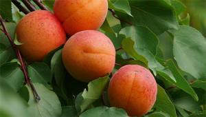 Abrikoos - Prunus armeniaca