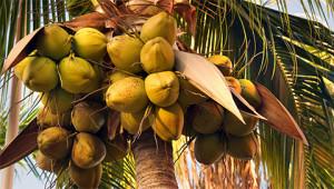 Cocotier - Cocos nucifera