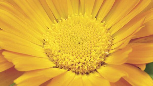 Ringelblume-Calendula-officinalis-2899-querqhmovnNuvmxFr