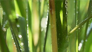 Citroengras - Cymbopogon citratus